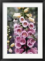 Framed Hummingbirds - Foxgloves