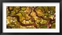 Framed Japanese Maple 1