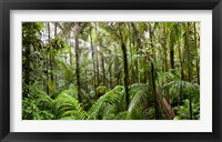 Framed Trees in tropical rainforest, Eungella National Park, Mackay, Queensland, Australia