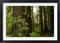 Framed Redwood trees and rhododendron flowers in a forest, Del Norte Coast Redwoods State Park, Del Norte County, California, USA