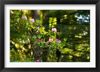 Framed Rhododendron flowers in a forest, Del Norte Coast Redwoods State Park, Del Norte County, California, USA