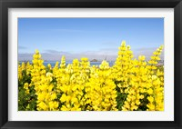 Framed Yellow lupines in a field, Del Norte County, California, USA
