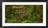 Framed Del Norte Coast Redwoods State Park, Del Norte County, California