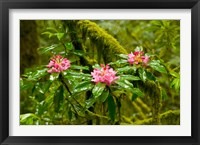 Framed Rhododendron flowers in a forest, Jedediah Smith Redwoods State Park, Crescent City, Del Norte County, California, USA