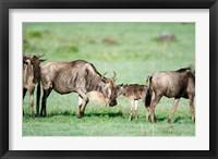 Framed Wildebeest, Ndutu, Ngorongoro, Tanzania