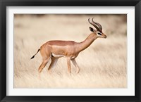 Framed Male gerenuk (Litocranius walleri) standing in field, Samburu National Park, Rift Valley Province, Kenya