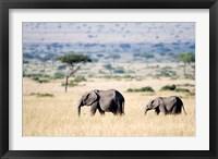 Framed African elephants (Loxodonta africana) walking in plains, Masai Mara National Reserve, Kenya