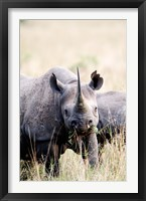 Framed Black rhinoceros (Diceros bicornis) standing in a field, Masai Mara National Reserve, Kenya
