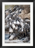 Framed Herd of wildebeests crossing a river, Mara River, Masai Mara National Reserve, Kenya