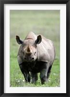 Framed Black rhinoceros (Diceros bicornis) standing in a field, Ngorongoro Crater, Ngorongoro, Tanzania