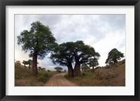 Framed Baobab Trees (Adansonia digitata) in a forest, Tarangire National Park, Tanzania