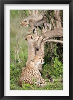 Framed Cheetah cubs (Acinonyx jubatus) with their mother in a forest, Ndutu, Ngorongoro, Tanzania
