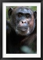 Framed Close-up of a Chimpanzee (Pan troglodytes), Kibale National Park, Uganda