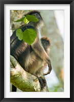 Framed Red Colobus monkey with its young one on a tree, Kibale National Park, Uganda