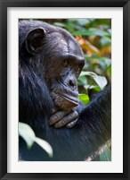 Framed Chimpanzee, Kibale National Park, Uganda
