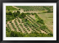Framed Olive trees in field, Les Baux-de-Provence, Bouches-Du-Rhone, Provence-Alpes-Cote d'Azur, France