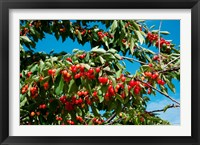 Framed Cherries to be Harvested, Cucuron, Vaucluse, Provence-Alpes-Cote d'Azur, France (horizontal)