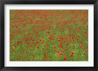 Framed Poppy Field in Bloom, Les Gres, Sault, Vaucluse, Provence-Alpes-Cote d'Azur, France (horizontal)