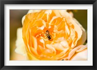 Framed Bee pollinating a yellow rose, Beverly Hills, Los Angeles County, California, USA