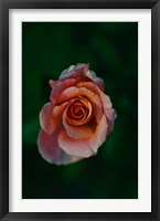 Framed Close-up of a pink rose, Beverly Hills, Los Angeles County, California, USA