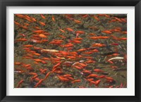 Framed Goldfish (Carassius auratus) swimming in the Yu River Canal, Old Town, Lijiang, Yunnan Province, China