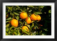 Framed Oranges, Santa Paula, Ventura County, California