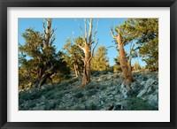 Framed Bristlecone Pine Grove, White Mountains, California