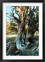 Framed Ancient Bristlecone Pine Forest, White Mountains, California