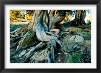 Framed Bristlecone Pine Grove at Ancient Bristlecone Pine Forest, White Mountains, California