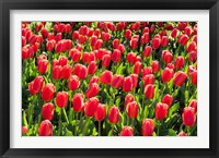 Framed Field of Red Tulips
