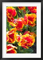 Framed Tulips at Sherwood Gardens, Baltimore, Maryland