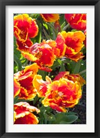 Framed Tulips at Sherwood Gardens, Baltimore, Maryland