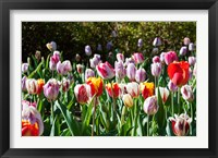 Framed Field of Tulips