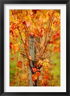 Framed Vineyard in autumn, Gaillac, Tarn, Midi-Pyrenees, France (vertical)