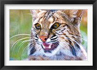 Framed Close-up of a Bobcat (Lynx rufus)