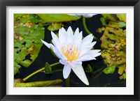Framed Water lily with lily pads in a pond, Isola Madre, Stresa, Lake Maggiore, Piedmont, Italy