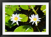 Framed Water lilies with lily pads in a pond, Isola Madre, Stresa, Lake Maggiore, Piedmont, Italy