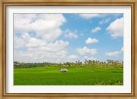 Framed Rice field, Rejasa, Penebel, Bali, Indonesia