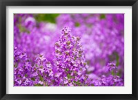 Framed Close-up of Pink Fireweed flowers, Ontario, Canada