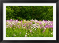 Framed Pink and white fireweed flowers, Ontario, Canada