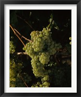 Framed Grapes in a Viineyard, Carneros Region, California