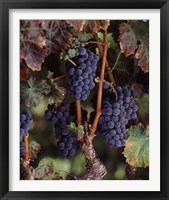 Framed Purple Grapes, Wine Country, California