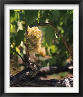 Framed Chardonnay Grapes in Vineyard, Carneros Region, California