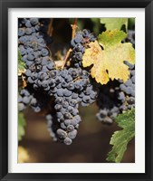 Framed Cabernet Sauvignon Grapes, Wine Country, California
