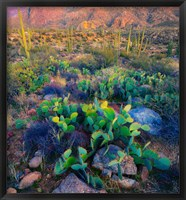 Framed Prickly pear and saguaro cacti, Santa Catalina Mountains, Oro Valley, Arizona, USA