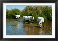 Framed Three Camargue white horses in a lagoon,  Camargue, Saintes-Maries-De-La-Mer, Provence-Alpes-Cote d'Azur, France