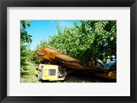 Framed Mechanical Harvester dislodging Cherries into large plastic tub, Provence-Alpes-Cote d'Azur, France