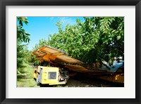 Framed Mechanical Harvester dislodging Cherries into large plastic tub, Provence-Alpes-Cote d'Azur, France