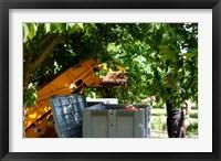Framed Cherry Harvester, Cucuron, Vaucluse, Provence-Alpes-Cote d'Azur, France