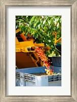 Framed Harvesting Cherries, Cucuron, Vaucluse, Provence-Alpes-Cote d'Azur, France